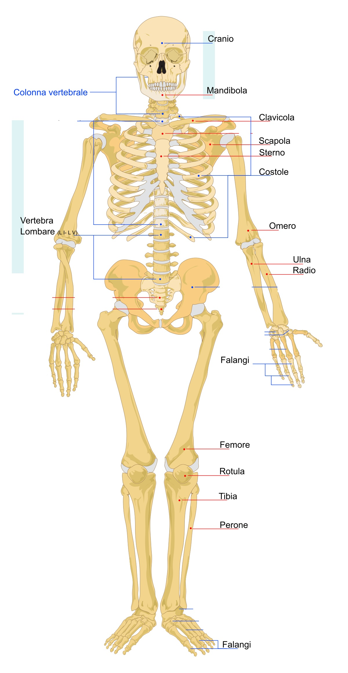 1200px Human skeleton front it