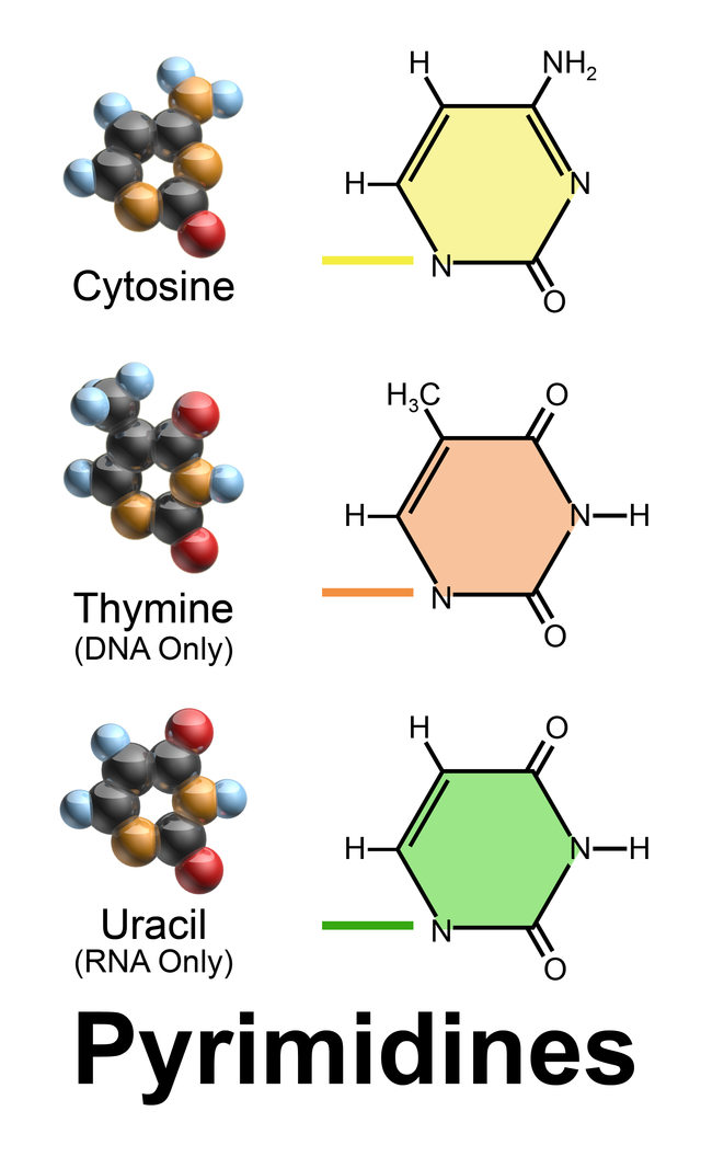 Blausen 0324 DNA Pyrimidines