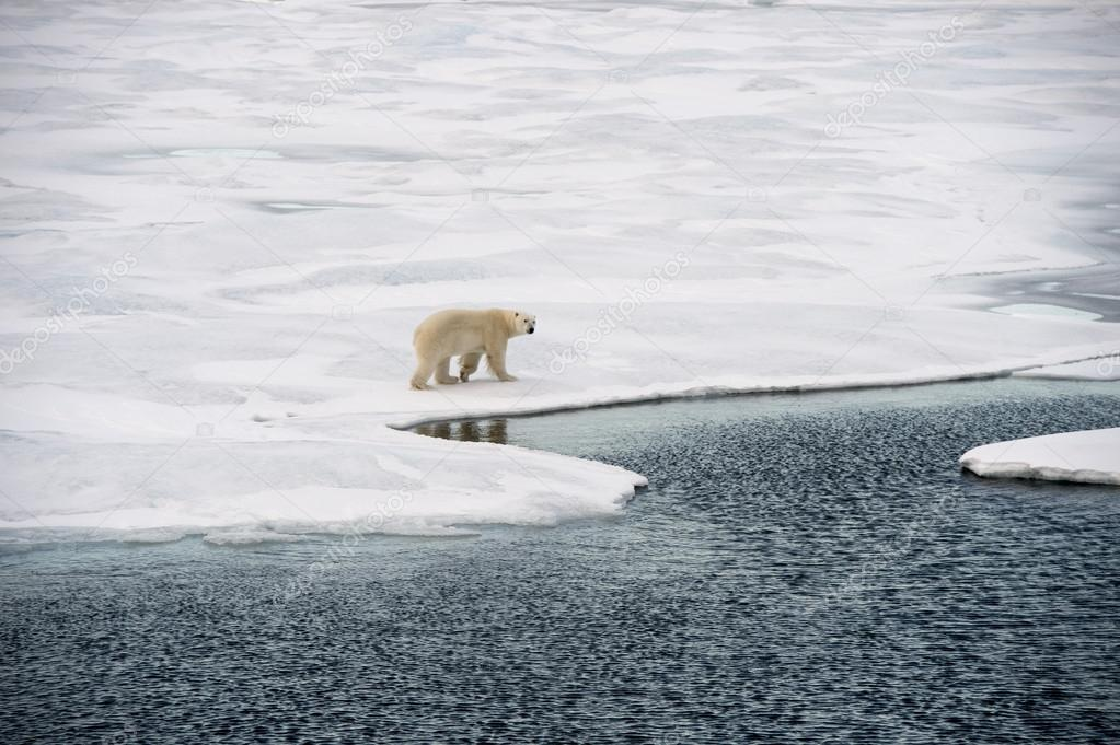 depositphotos 126889898 stock photo polar bear walking on sea